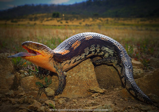 alpine blotched blue-tongue skink