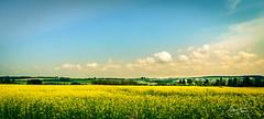 Champ de moutarde à Saint-Pascal de Kamouraska (Colette Tessier) Tags: save earth moutarde field yellow calme paysage tourisme est du québec canada