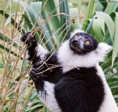 LemurFoodSearch (hillels) Tags: nationalzoo fonz washington dc zoo animal wild nature