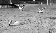 IMG_5738a (maarcinwu) Tags: canoneos6d 135mmf2l swan birds blackandwhite lake