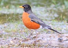 American robin at Lake Meyer Park IA 854A7431 (lreis_naturalist) Tags: american robin lake meyer park winneshiek county iowa larry reis