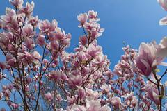 Magnolienbaum (Janina Kalsch) Tags: magnolienbaum magnolien baum tree frühling spring printemps magnolia blooming himmel sky blue blau rosé natur pflanze plants