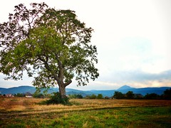 A lonely and majestic tree! Alone but majestic ! (MSamir63) Tags: tree arbre hdwallpapers nature beauty beautiful majestic lonely clermontferrand france alone fz200 lumix panasonic green