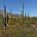 What a Morning to Enjoy a Hike While Walking the Douglas Spring and then Garwood Trail (Saguaro National Park)