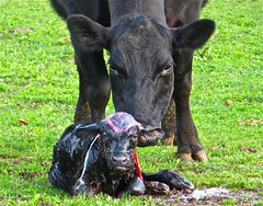 A Stormy Situation (Dee Gee fifteen) Tags: bovine cow calf newborn nature afterbirth rural animals