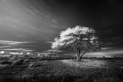Blossom BW (Dave Watts Photography) Tags: wwwdavewattsphotographycom bw blackwhite monochrome mono tree spring blossom suffolk sunset evening flowers dave watts