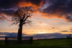 Royal Oak (SimonLea2012) Tags: england englishheritage royaloak fireinthesky colour red sunset blazingsky lonetree