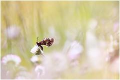 """""""Sopra le nuvole"""" (Photo Luc@) Tags: canon 6d ff sigma macro allaperto bokeh green farfalla soft sfocato light"""