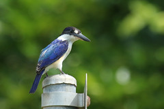 Forest Kingfisher (Janis May) Tags: forestkingfisher eastpoint northernterritory