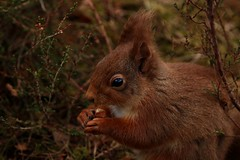 Squirrel in the Heather (Sybalan,) Tags: morayshire forest coastal wildlife woodland wood scotland sunny squirrel outdoors mammal feeding heather red canon 760d