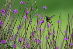 Pollinator (Cameron Eckert) Tags: hummingbird blossom costa rica monteverdi bio biodiversity beauty birding birder birdwatcher bird birdwatching biosphere flight ecosystem ecological ebird ecology explore expedition pollen pollinator