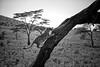 The Serengeti's Tree Climbing Lions (virtualwayfarer) Tags: serengeti serengetinationalpark nationalpark lion lions lioness lioncub tree treelion bigcats wild wildanimals nature acacia unusual africansafari treeclimbinglions peride lionpride plains africa african canon canon6d easternafrica tourism tour travel travelphotography park predator feline wildlife tanzanian climbing east cub bigcat family adventuretravel lifestyle inspiration alexberger virtualwayfarer travelinspiration natgeoinspired unusualanimals