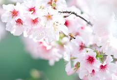 花兒~我來了! (lgf55555(基福)) Tags: 櫻花 蜜蜂 微距 粉紅