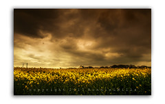 Yellow Peril (RonnieLMills) Tags: stormy weather dark clouds yellow peril rapeseed field flower groomsport county down northern ireland
