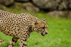 Leopardo (www.jfuentesquero.es) Tags: flickr save leopardo leopard manchas animal
