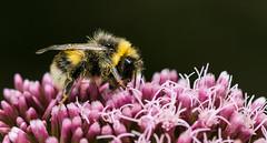 Dusty collector (johndifool) Tags: bee flower pollen 7dwf macro insekt