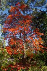 Brachychiton acerifolius, Kings Park, Perth, WA, 30/12/16 (Russell Cumming) Tags: plant brachychiton brachychitonacerifolius sterculiaceae kingspark perth westernaustralia