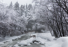 KashmirShankyTemple_IMG4959LR (1 of 1) (CallieChee) Tags: kashmir winter snow fresh snowfall landscapes reindeer river forest