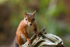 Red Squirrel on Old Tree (suerob) Tags: redsquirrel sciurisvulgaris female teat mammal rodent animal wild wildlife eurasian tree branch old worn arboreal woodland wood forest omnivorous protected indigenous britain england brownseaisland conservation habitat