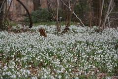 Schneeglöckchenwiese (Frank Guschmann) Tags: botanischergarten botanischergartenberlin märzenbecher schneeglöckchen frankguschmann nikond7100 d7100 nikon