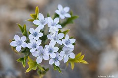 Spring bouqet (Photosuze) Tags: flowers flora petals delicate blue white wildflowers desert