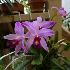 Laelia anceps #2 species orchid (nolehace) Tags: laelia anceps 2 species orchid 217 winter nolehace fz1000 flower bloom plant sanfrancisco