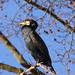 Great cormorant on a tree