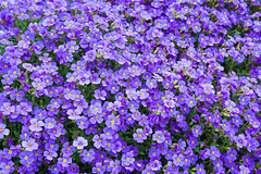 Beautiful Spring Flowers Outdoors Purple (HunterBliss) Tags: background beautiful beauty bloom blooming blossom blossoming blur botanical botany branch bright cherry close closeup color colorful day field flora floral flower flowers fresh freshness garden gardening grass green growth landscape leaf macro may natural nature orchard outdoor petal pink plant red season spring summer sun sunlight sunny tree white