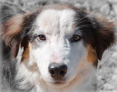 MIRADA LEAL (ROGE gonzalez ALIAGA) Tags: mirada perro animales ojos