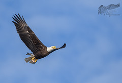 Bald Eagle with Catfish 4_17 (krisinct- Thanks for 15 Million views!) Tags: nikon d500 500 f4 vrg