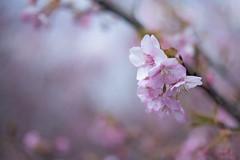 河津桜 (kenta_sawada6469) Tags: flower flowers spring nature macro colors japan ume japaneseapricot japanese