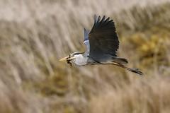Mallard Duckling for Supper (jonnyp-photo) Tags: heron mallard duckling birds nature
