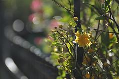 flowered fence (nirak68) Tags: lübeck schleswigholsteinkreisfreiehansestadtlübeck deutschland ger 105365 blüte blossom zaun fence gelb japanischekerrie kerriajaponica 山吹 yamabuki ranunkelstrauch japanischesgoldröschen goldröschen kerria rosengewächs rosaceae gefüllt spring april frühling 2017ckarinslinsede atsh flora