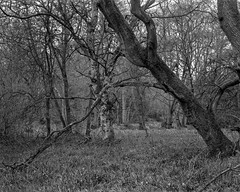 Diagonal tree with drooping branch (Hyons Wood) (Jonathan Carr) Tags: tree ancient woodland abstract abstraction landscape rural northeast bw black 4x5 5x4 white largeformat toyo45a