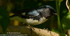 Black-throated Blue Warbler (sjsimmons68) Tags: orangeco blackthroatedbluewarbler bird favorites animals maitlandcommunitypark fav fllocations warblers