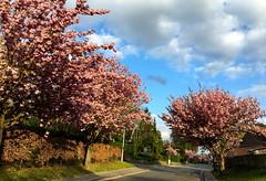 bloeiende japanse kerselaars in Leuven (Kristel Van Loock) Tags: lente spring lente2017 spring2017 leuven oudebaan oudebaanleuven louvain lovanio lovaina visitleuven seemyleuven atleuven loveleuven leveninleuven drieduizend japansekerselaars bloeiendejapansekerselaars japanesecherrytrees japanesecherrytreeblossom blossom blossoms bloesem pinkblossom pink roze vlaamsbrabant vlaanderen flanders fiandre flandre flemishbrabant visitflemishbrabant visitflanders visitbelgium trees alberi belgium belgique belgien belgica belgië belgio primavera printemps springtime springisintheair springishere springflowers blooming cherryblossoms bloomingsakura sakura bloeiend