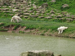 Nobby and Nissan next to the lake (LadyRaptor) Tags: yorkshirewildlifepark yorkshire wildlife park doncaster ywp conservation nature outdoors rocks spring green flowers birds flying gulls walking approaching sitting laying down watching looking water lake reflection ripples best friends animal animals cute predator carnivore caniformia ursidae polarbear polarbears male males polar bear bears ursusmaritimus projectpolar nissan nobby