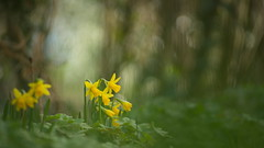 And here are the Daffodils (Stefan Zwi.) Tags: blume flower wild wildblume 105mm f28 sigma sony a7 ilce7 emount farbe flora closeup nature background pentacon 135mm narzisse osterglocke daffodil narcissus ngc npc