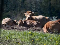 Mirada atenta (Luicabe) Tags: airelibre animal bovino cabello enazamorado exterior ganado herbívoro hierba luis naturaleza sueño vaca vigilancia yarat1 zamora ngc