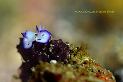 Little Beauty (kayak_no1) Tags: nikon d800e nauticamhousing 105mmvr diopter ysd1 subsee10 underwater underwaterphotography macro supermacro diving scubadiving uw lembehstrait indonesia