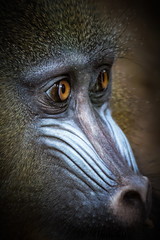 20170309-IMG_7660_DxO (douglasjarvis995) Tags: monkey zoo animals chester portrait close closeup look eyes eye face nose