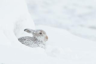 Hunkered hare.