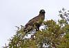 Wahlberg's Eagle (Hieraaetus wahlbergi) (berniedup) Tags: lowersabie kruger wahlbergseagle hieraaetuswahlbergi eagle taxonomy:binomial=hieraaetuswahlbergi