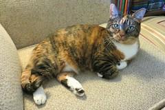 Gracie 9 April 2017 4090Rif 4x6 (edgarandron - Busy!) Tags: cat cats kitty kitties tabby tabbies cute feline gracie patchedtabby