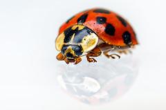 Marienkäfer gespiegelt (Daborius B.) Tags: marienkäfer ladybug insekt insect macro makro