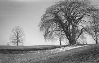 grand old tree, beginning to blossom, snow patch, cast shadows, rolling terrain, Biltmore Estate, Asheville, NC, Ercona II 105mm F-3.5, early March 2017