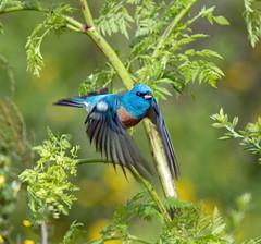 Lazuli buntings are back! (Doug Greenberg) Tags: lazulibunting lazulibuntinginflight bunting bird sibleybirds beautifulbird
