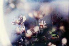 im Lichtbogen (Ulla M.) Tags: korn grain reflectaproscan10t c41 tetenalcolortec analog kleinbild 135 selfdeveloped selbstentwickelt umphotoart nikonfm dof bokeh blüten baum