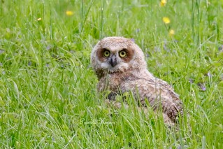 One last look, and it was gone for now - the young owl flew in short spurts across a meadow and toward a wooded area where mom was waiting