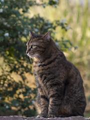 Temps de pause * (Titole) Tags: gaïa sit bokeh cat katze kat gato gatto titole nicolefaton tigré tabby